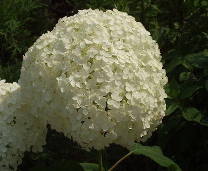 ortensia hydrangea quercifolia