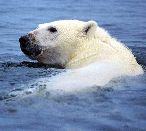 SWIMMING POLAR BEAR (IJsbeer)