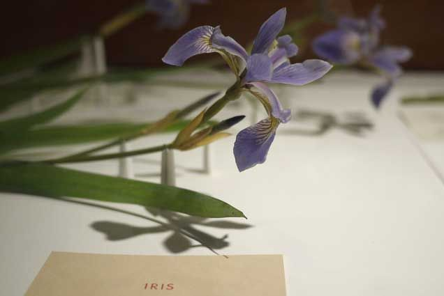 harvard glass flowers images - Google Search