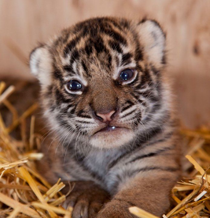 Image Result For Baby Sumatran Tiger Picturesa