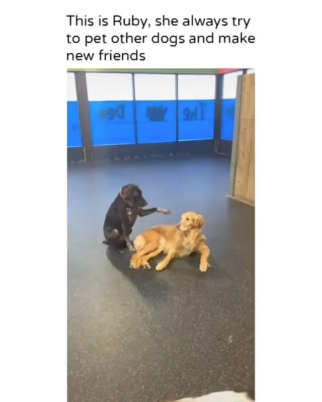 Pups Fiction On Instagram So Precious Credit Alanahlorraine Tiktok Dog Dogsofinstagram Do Cute Dogs Funny Dogs Cute Funny Dogs
