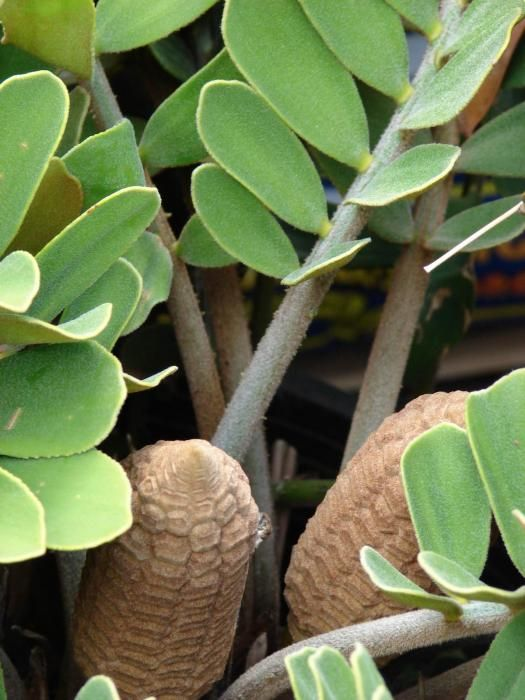 17 best images about cardboard palms on pinterest bonsai for Planta ornamental zamia