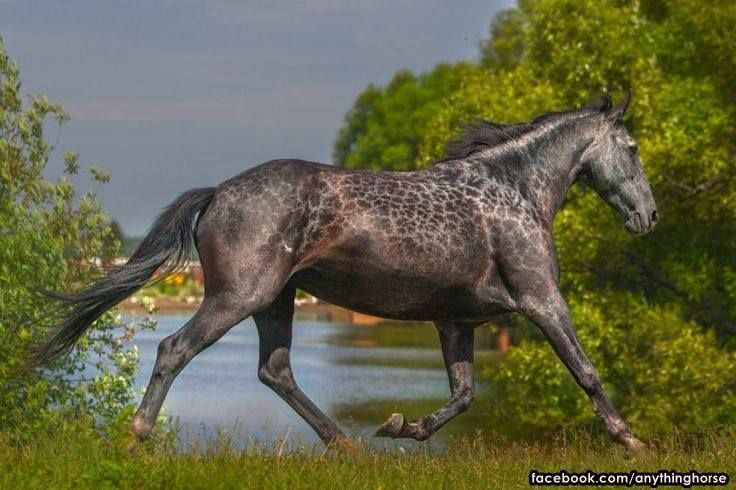 That is referred to as Reverse Dapple Roan on The Equine Tapestry Rare colored horses! POST AWAY!! - Page 330
