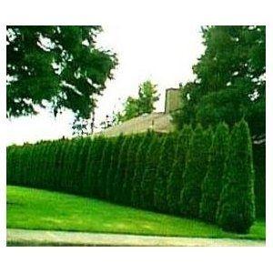 "Thuja ""Emerald Green"" Arborvitae ~ 30 trees~ -4 inch pot. Most popular privacy tree."
