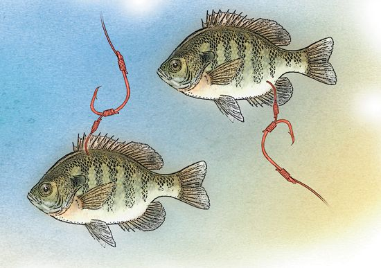 One Cool Catfish Rig - To the bend of a circle hook, attach a smaller hook using a section of braided line. The small hook serves to hold the bait, leaving the circle hook unobstructed. Hooking baits in the dorsal area works well on float rigs or other vertical presentations. Baits hooked near the anal fin or pelvic fin area retain the ability to swim upright, even with the added weight of the detached circle hook, making them good options for bottom rigs.