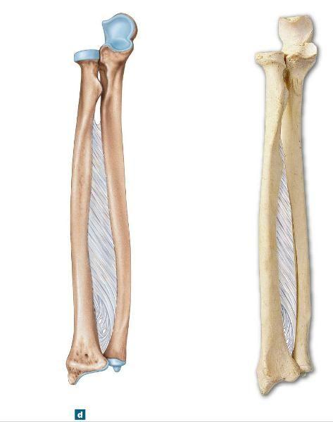 radius bone anatomy 3d - Pesquisa Google