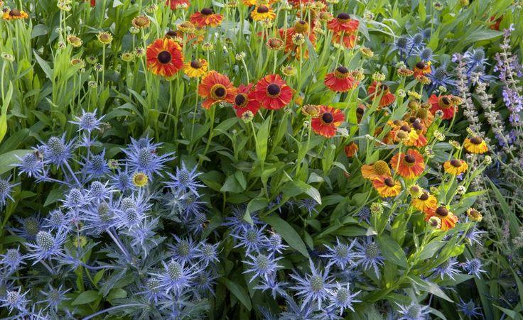 Ein wunderbares Beispiel für den Einsatz von Komplementärfarben. Die orange Sonnenbraut harmoniert sehr schön mit der blauen Edeldistel