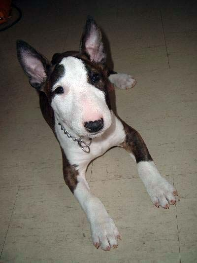 Bull Terrier Picture, also called English Bull Terrier, Miniature Bull Terrier, Varkhond and Pig Dog