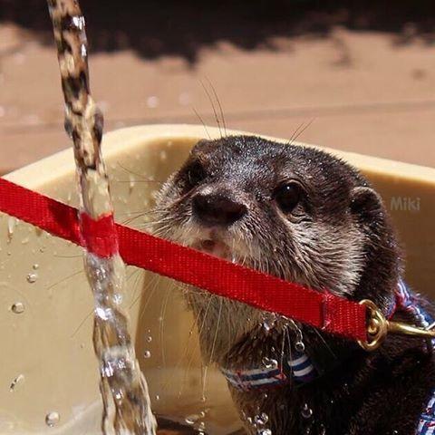 2016/06 Bathing. Mr.Gino.  水浴びジーノさん🐳涼しげ?  #AQUARIUM #水族館 #サンシャイン水族館 #かわうそ #コツメカワウソ #カワウソ #ジーノ #かわいい #水浴び #涼しげ #散歩 #otter #asiansmallclawedotter #Gino #kawaii #cute #pretty #adorable #fun #bathing #pool