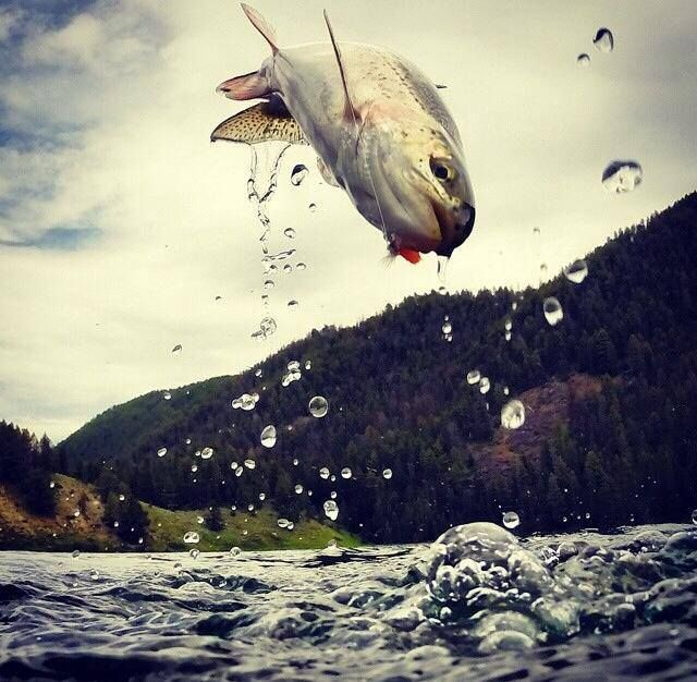 Look at this Montana rainbow trout airing it out // Amazing capture by Paolo Marchesi Photography