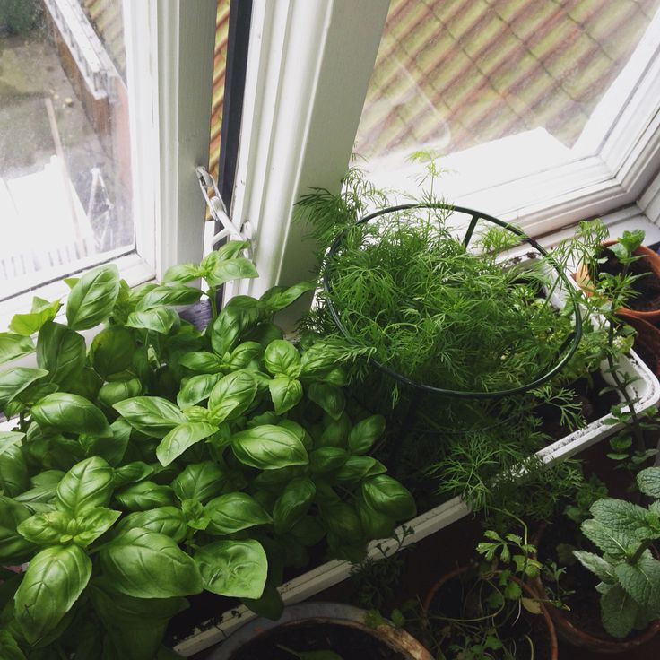 My little herbs garden on the window