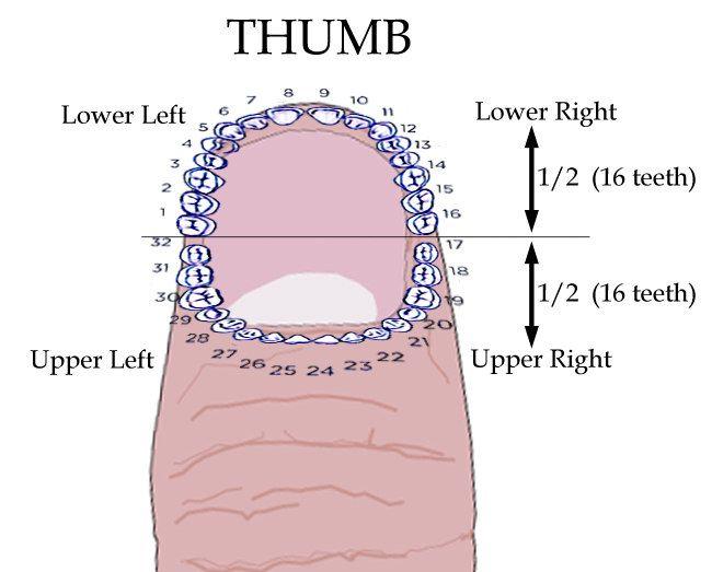 Mapping of teeth around thumb nail
