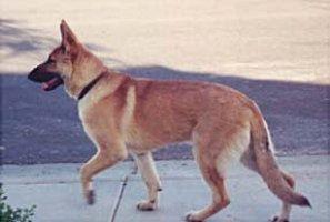 """Red Sable German Shepherd Dog   ... is """"blonde sable"""" - is that a red sable? - German Shepherd Dog Forums"""