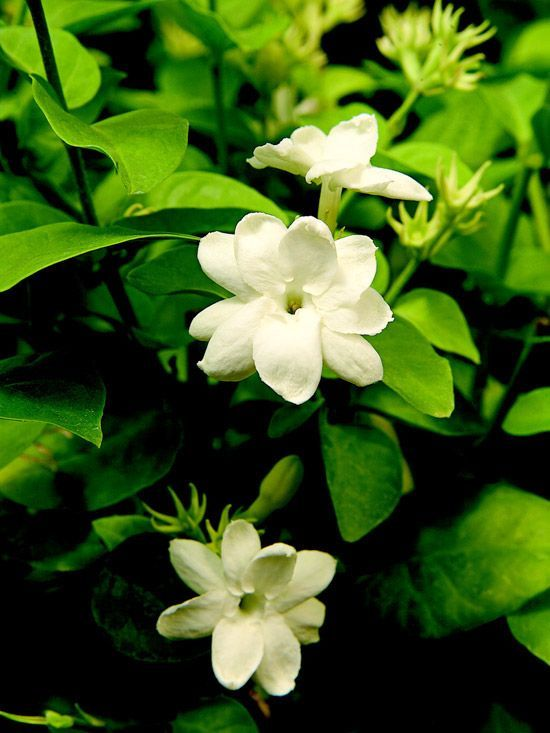 Arabian Jasmine flowers almost all year long if it gets enough light. The starry, pure-white flowers produce a soft, flowery fragrance and are used to make jasmine tea.    Grow Arabian jasmine in a bright spot protected from drafts and provide abundant humidity. Water regularly and feed it in spring and summer with a general-purpose houseplant fertilizer.