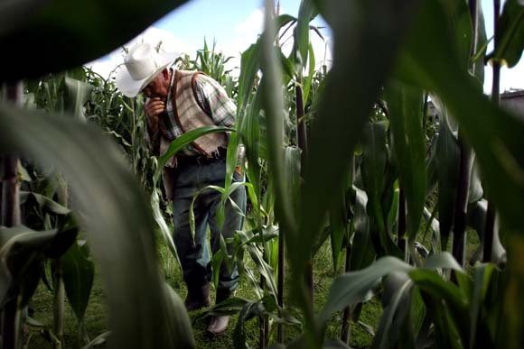 Mexico's corn farmers see their livelihoods wither away