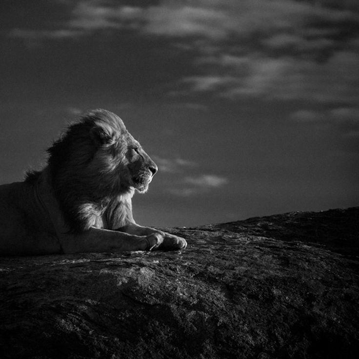 Le roi de la savane : 20 portraits fascinants de lafauneafricaine - Linternaute