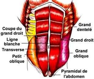 abdominaux couche superficielle