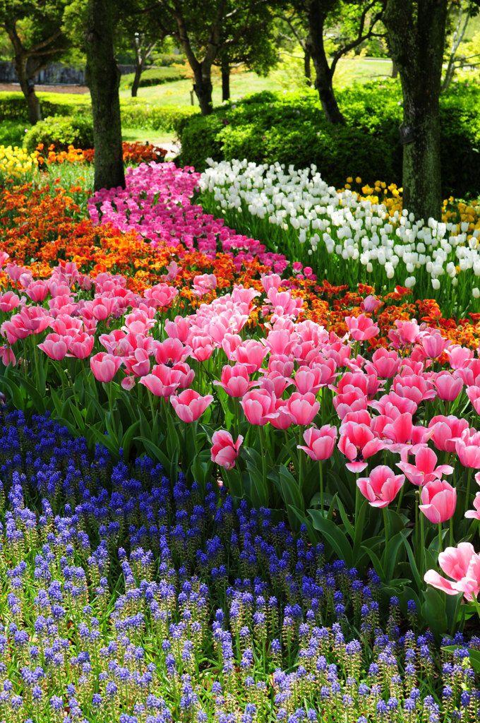 木曽三川公園 岐阜 Tulip Garden in Gifu, Japan