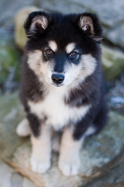 Best 25+ Pomeranian husky for sale ideas on Pinterest ...