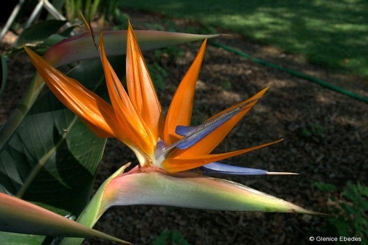 Strelitzia reginae (Crane Flower, Bird-of-Paradise)