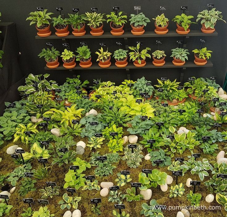 A look at Hogarth Hostas exhibit of small and miniature Hostas, inside the Great Pavilion, at the RHS Chelsea Flower Show 2016.