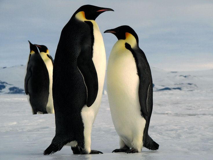 baby penguins | Emperor Penguins Antarctica Playing Wallpaper Two Cute Pairs Of ...