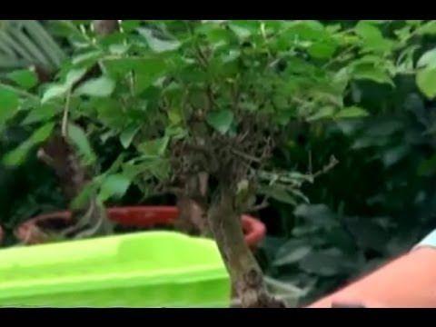 Bonsai Bitkisi - Bonsai Bakımı, Sulaması, Budaması, Yer Seçimi 2. Bölüm - YouTube