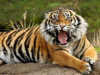 The last species of tigers to become extinct occurred in the 1980's with the javan tiger. Description from indopost.ga. I searched for this on bing.com/images