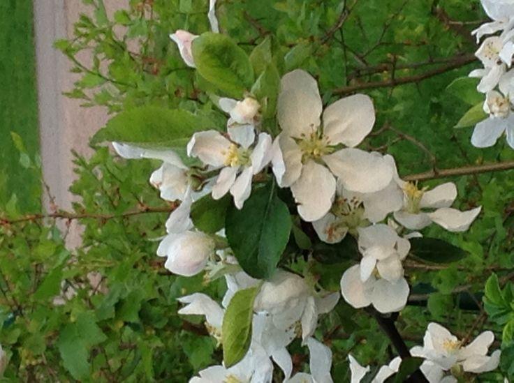 Omena omasta puutarhasta ennen kun se laitettiin maihin.