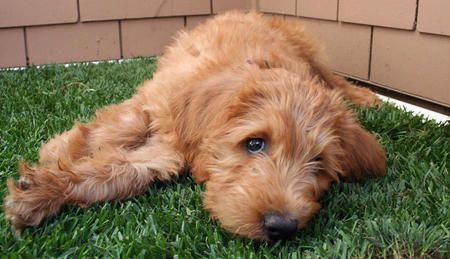 Chewbacca the Labradoodle