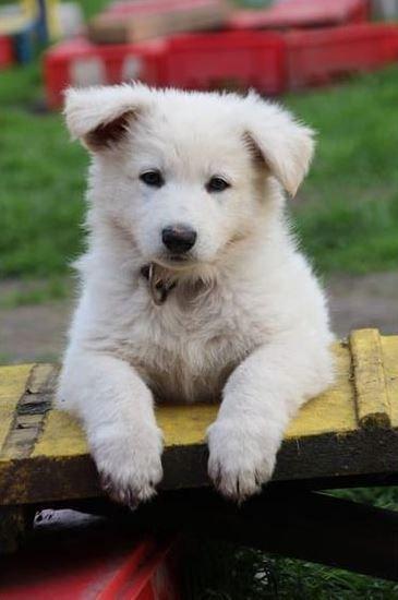 """""""Ich hab den Überblick"""" - Weißer Schäferhund Welpe"""