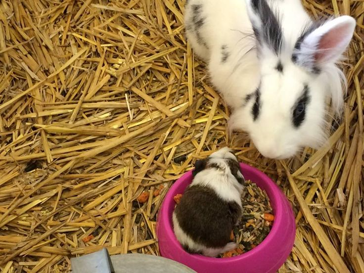 #KnockhatchCaption #rabbit #guineapig : Do you have a caption to add to this photo? >>>