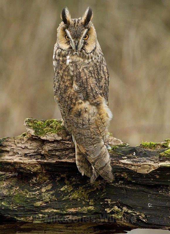 - ' LONG EARED OWLS '