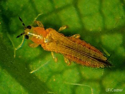 Adult Flower Thrips