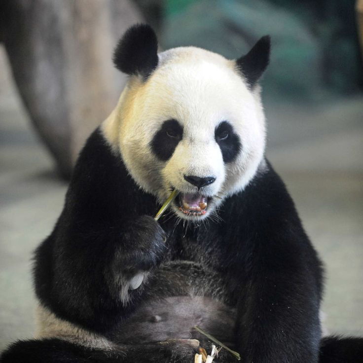 Another Genius Panda Fakes Pregnancy for Snacks
