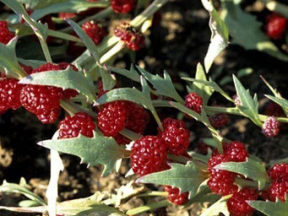 EAT SMARTER stellt den Erdbeerspinat vor und verrät, warum das Gemüse fast in Vergessenheit geraten ist.