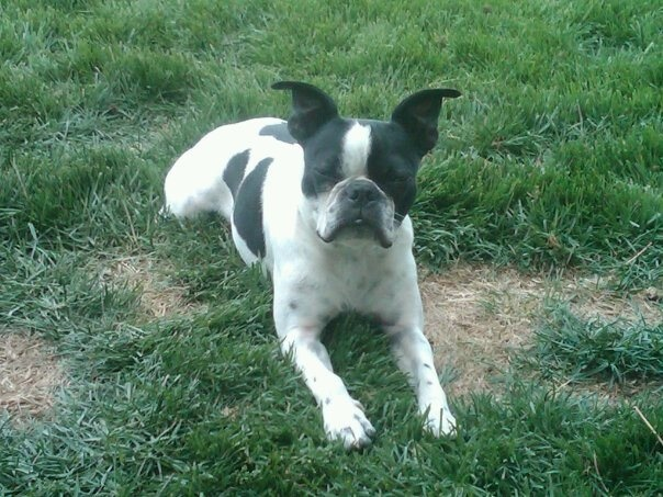 Cutie!! Boston Terriere.