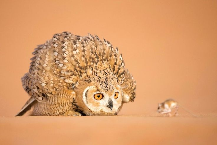 pharaoh owl 2
