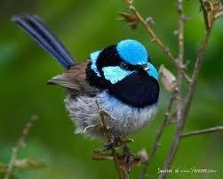 sweet little fluff ...: Blue Wren, Superb Fairies, Colors, Australian Critter, Australia Native, Google Search, Fairies Wren, Beautiful Birds, Birds Beautiful