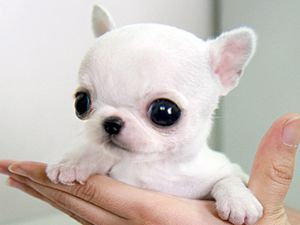 Apple-headed teacup chihuahua. They are real. But they only live about three months because their cute little heads are deformities that are bred into them. Also they are about $2000.