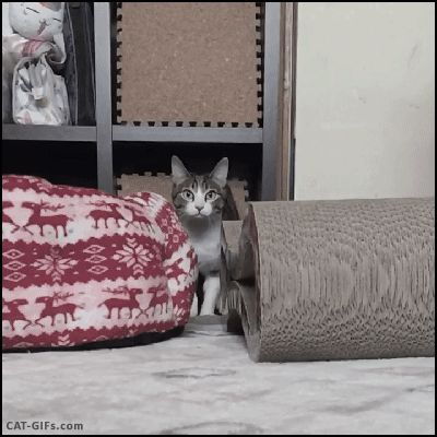 CAT-GIF-The-pouncing-Cat-Slow-motion-He-is-flying-Amazing-ears-1.gif (400×400)