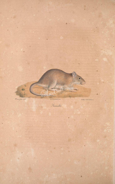 Brown Rat      ...