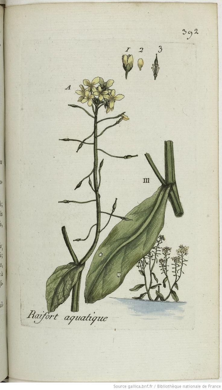 SISYMBRIUM - Sisymbrium amphibium. Le raifort aquatique / Le faux curage