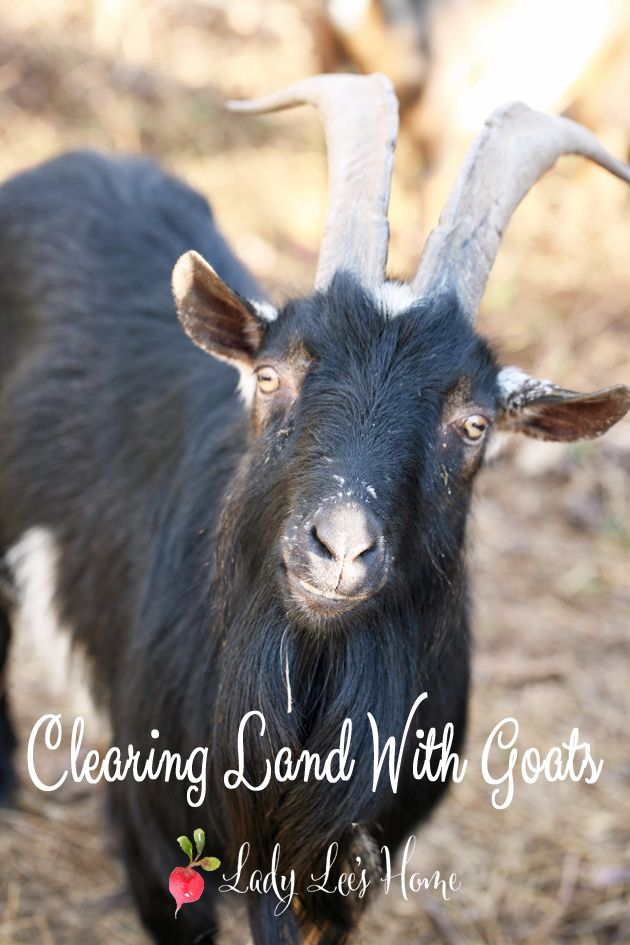 Clearing Land With Goats (Video) - Here is how we use our goats to clear some land on the farm. We use an electric fence and move them around. They do a great job! #Lady Lee's Home
