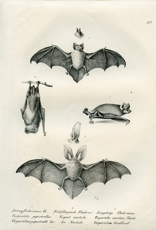 good reference for bat body shape