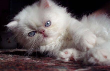 gato persa filhote branco de olhos azuis com pedigree - Guarujá - Gatos