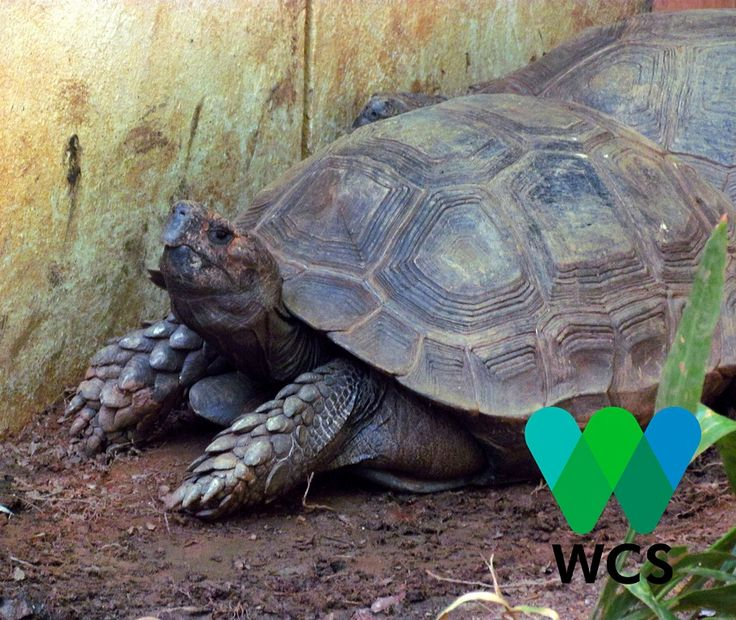 Endangered Asian Forest tortoise happens to be declining in population like a lot of other reptiles. The main cause of their decline is because of the pet trade and habitat destruction. Together we can achieve more for these reptiles when we join Wildlife Conservation Society. #tortoise #turtle #reptile #endangered #conservationchart #conservation #conserve #save #fight #help #wildlifewednesday #wildlife #environment #rainforest #asianforesttortoise #parulina