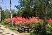 A Jeli arborétum - rododendronok