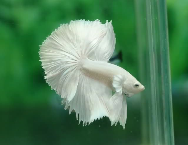 White Half Moon Betta Fish. The Siamese fighting fish ...