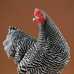 One of my favourites! Barred Rock (this is a bantam hen). So pretty and they're fine layers!